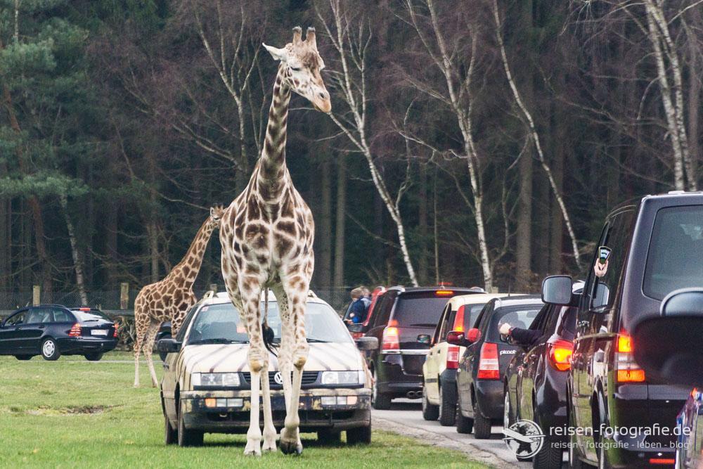 Giraffen im Verkehr