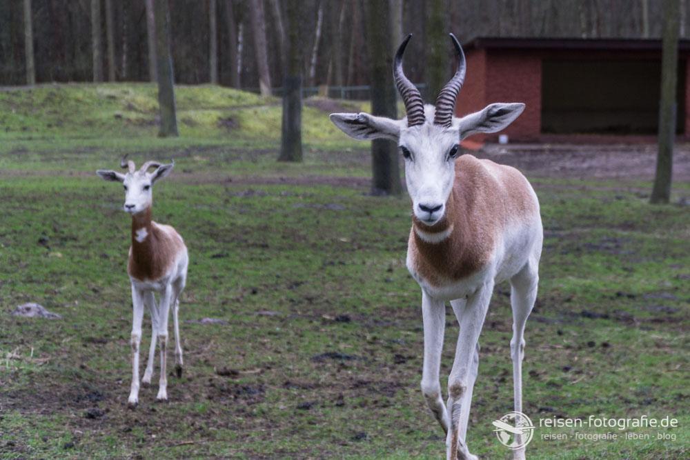 Rothalsgazelle