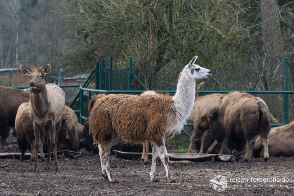 Lama zwischen Bisons und Wapiti Hirschen?