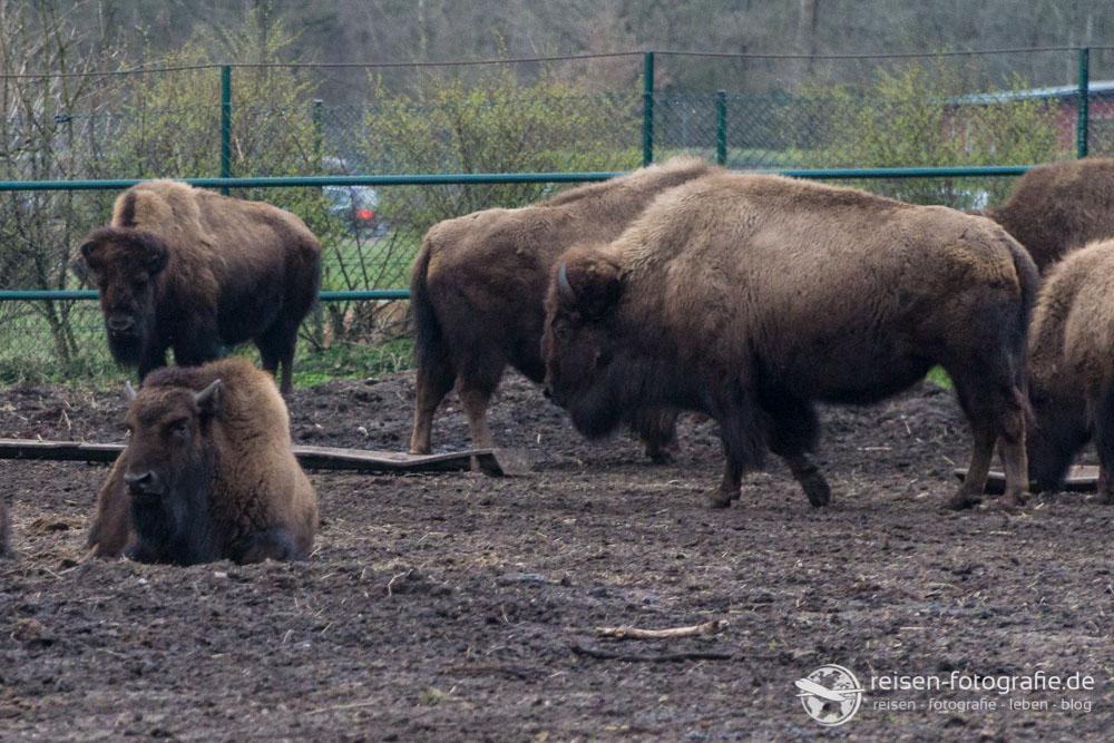 Endlich mal wieder Bisons fotografieren