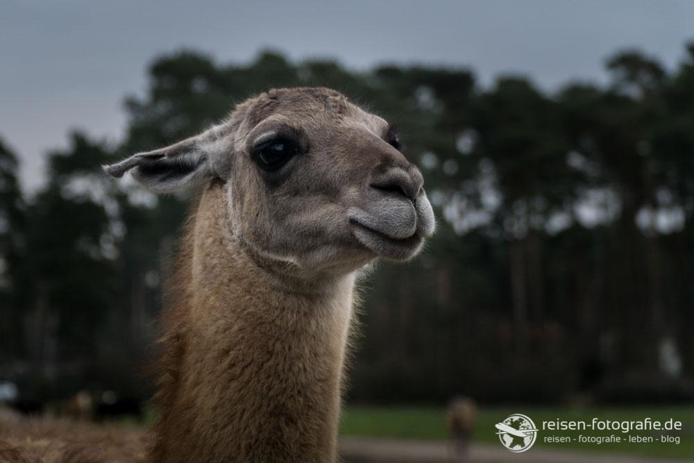 Lama Portrait