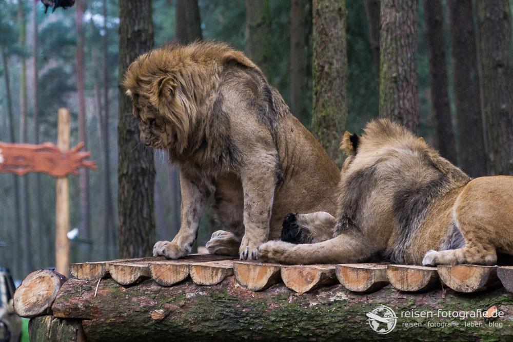 Zwei Löwenmännchen