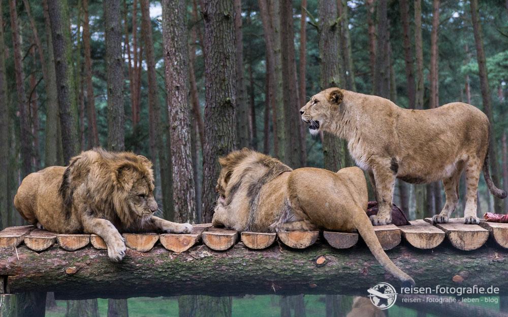 Löwenfamilie beim Frühstück