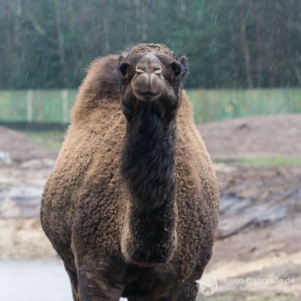 Ich Dromedar steh hier im Regen wie ein Kamel