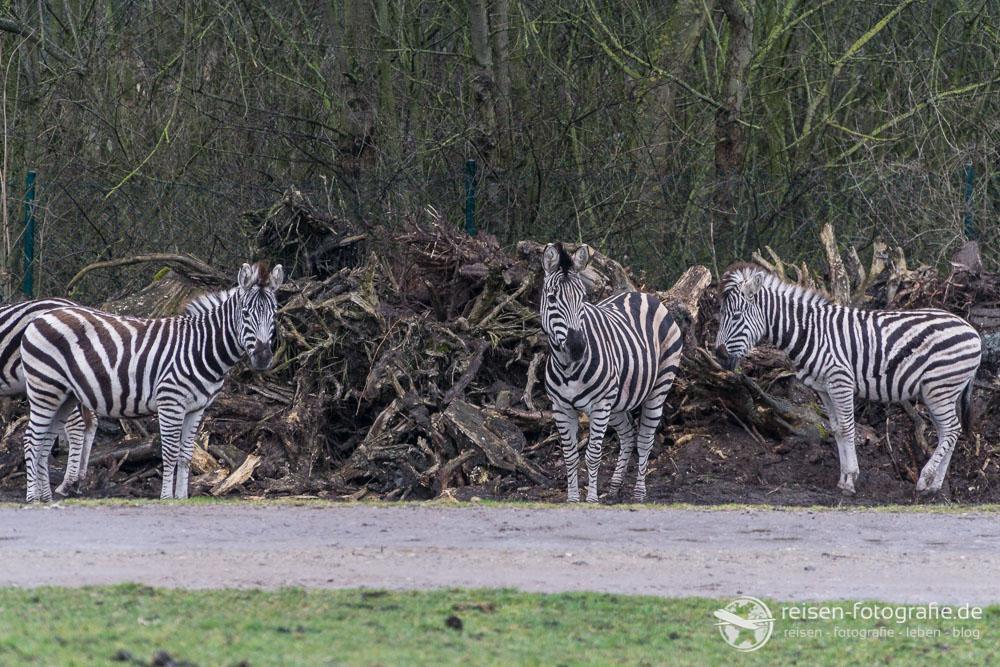 Zebras im Regen