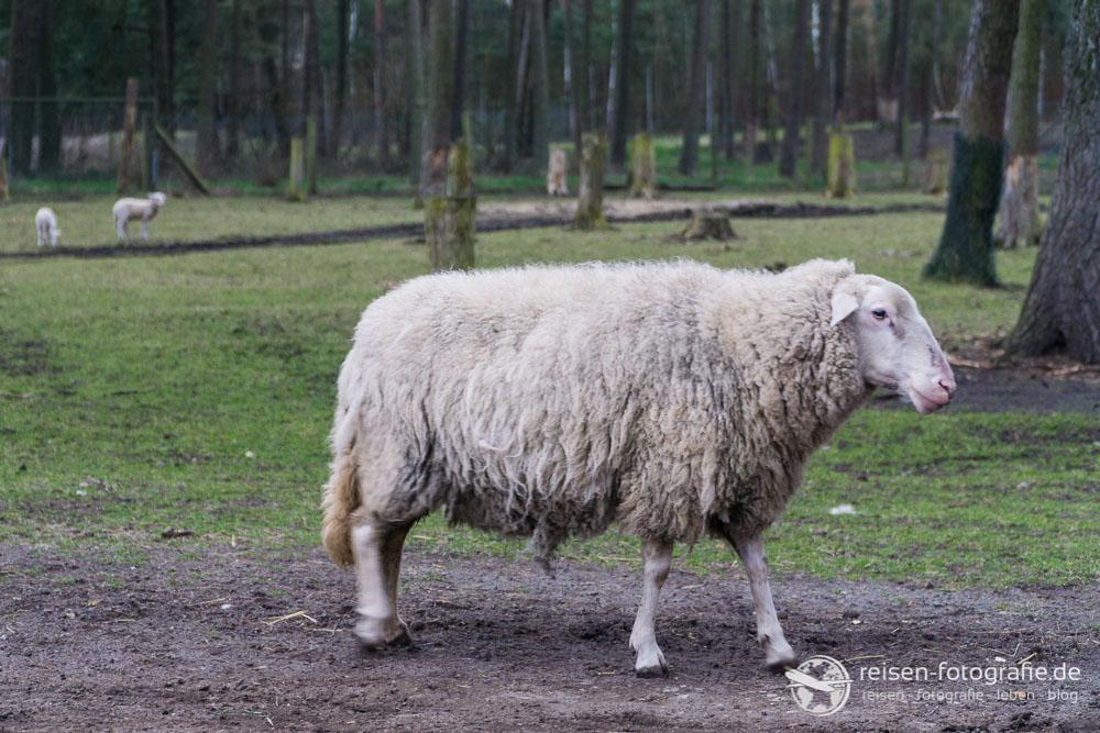 Schaf im Streichelbereich