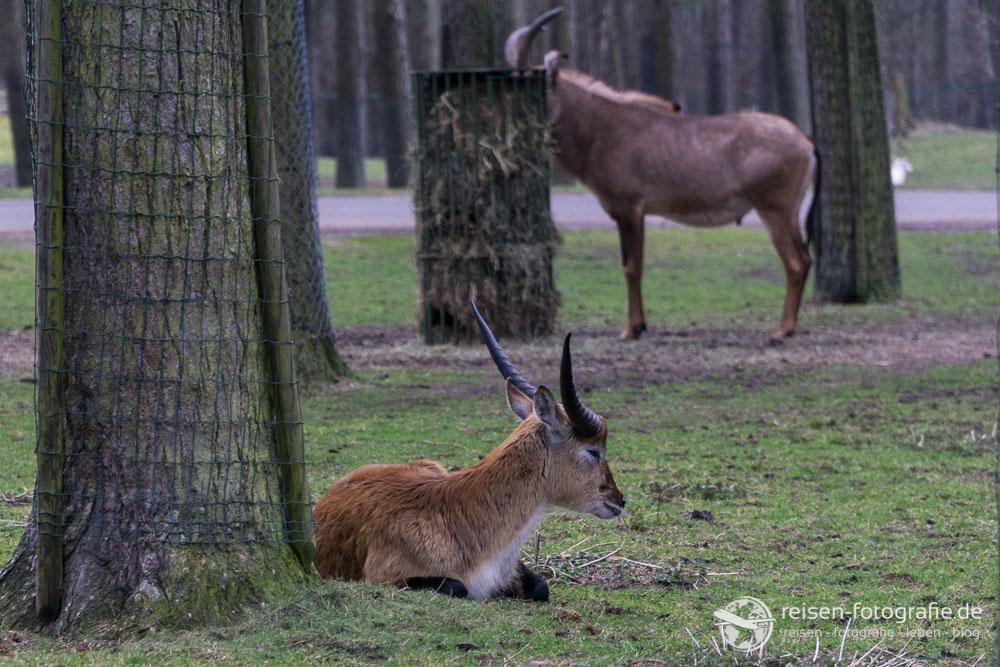 Litschi-Wasserbock Jungtier
