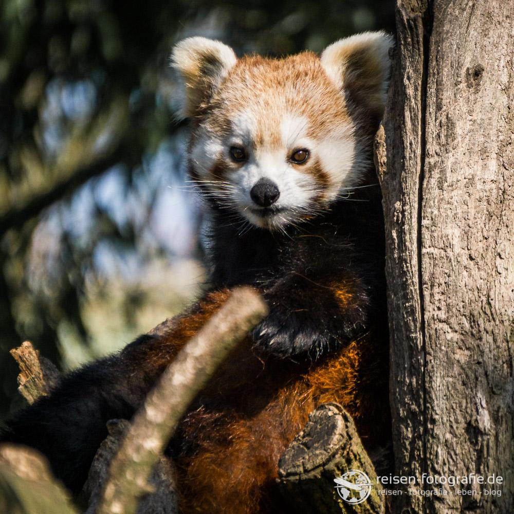 Melanie Alpha 6000: Kleiner roter Panda