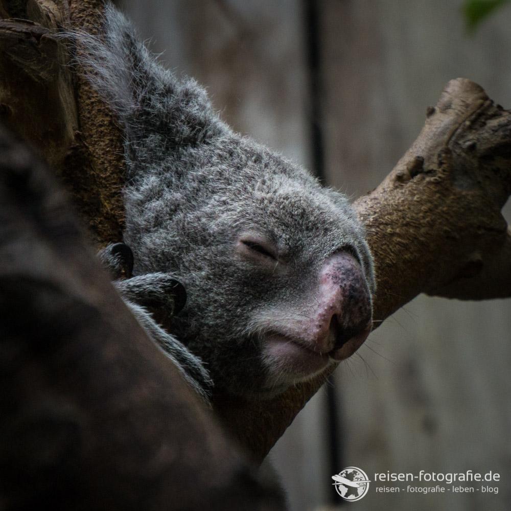 Melanie Alpha 6000: Koala Bär