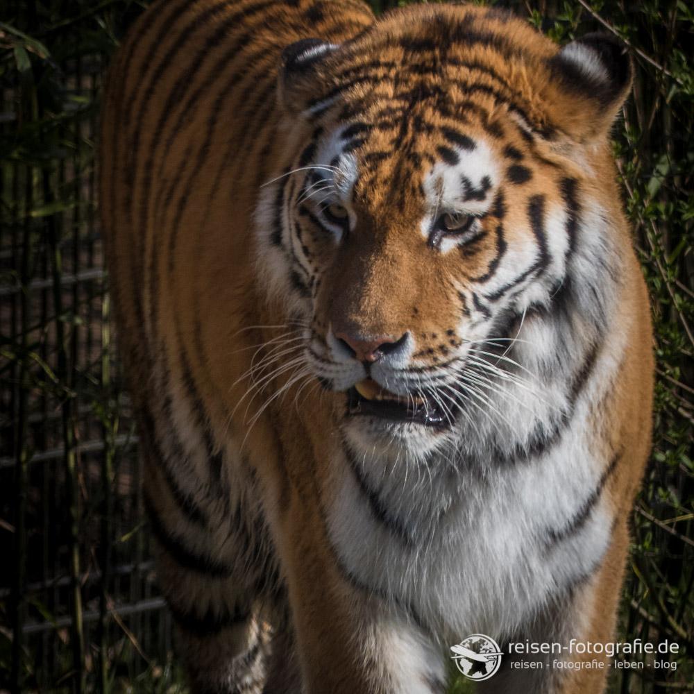 Thomas FZ300: Tiger