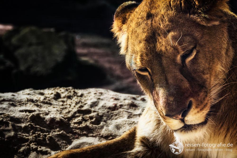 Hübsche Löwendame