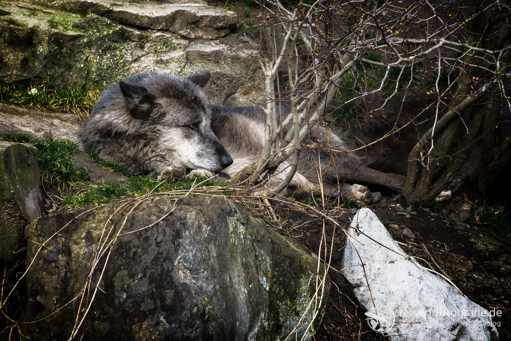 Wolf in Kanada