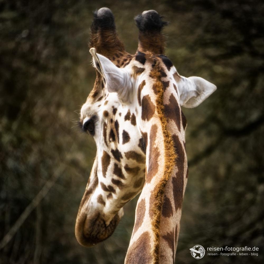 Eine Giraffe mal von hinten