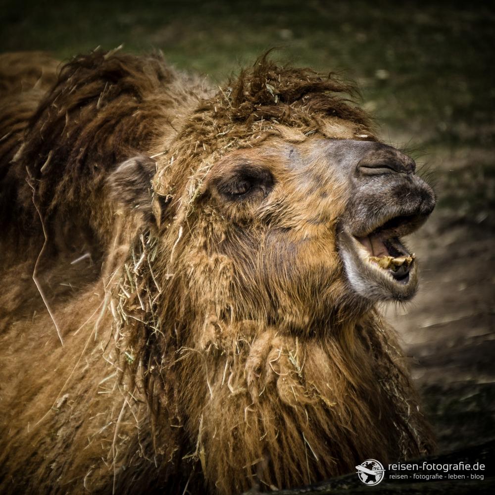 Meckerndes Kamel