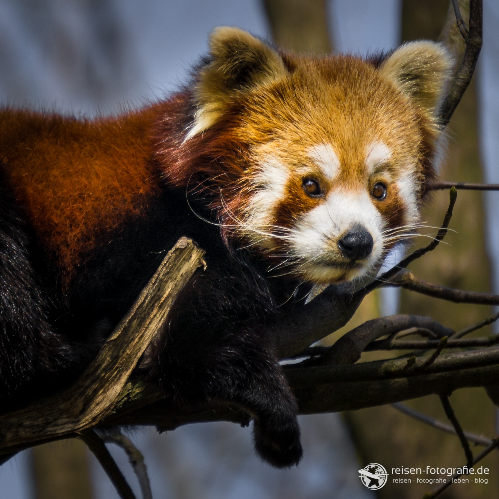 Kleiner roter Panda beim chillen