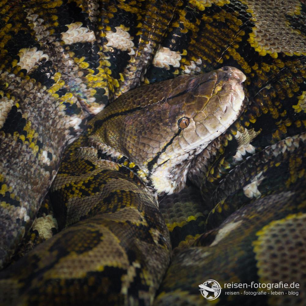 Der Kopf von fast 5 Meter Schlange