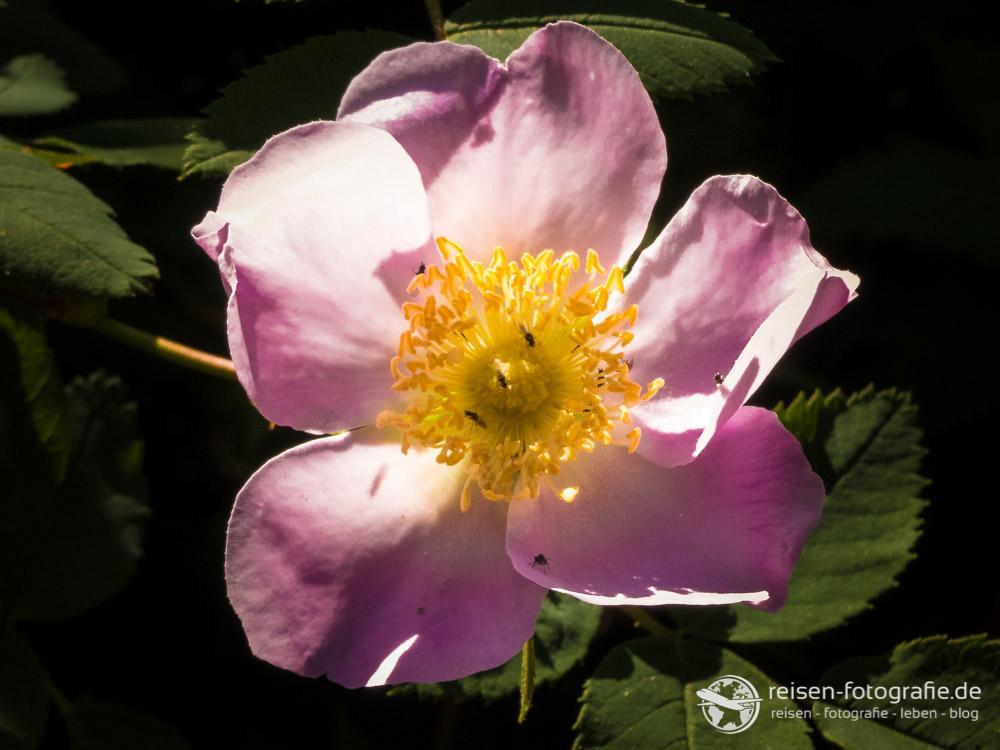 Blume - rosa/gelb
