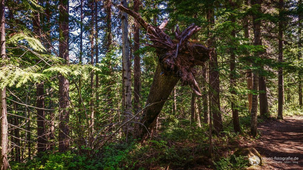 Durch den Wald zu den Dawson Falls