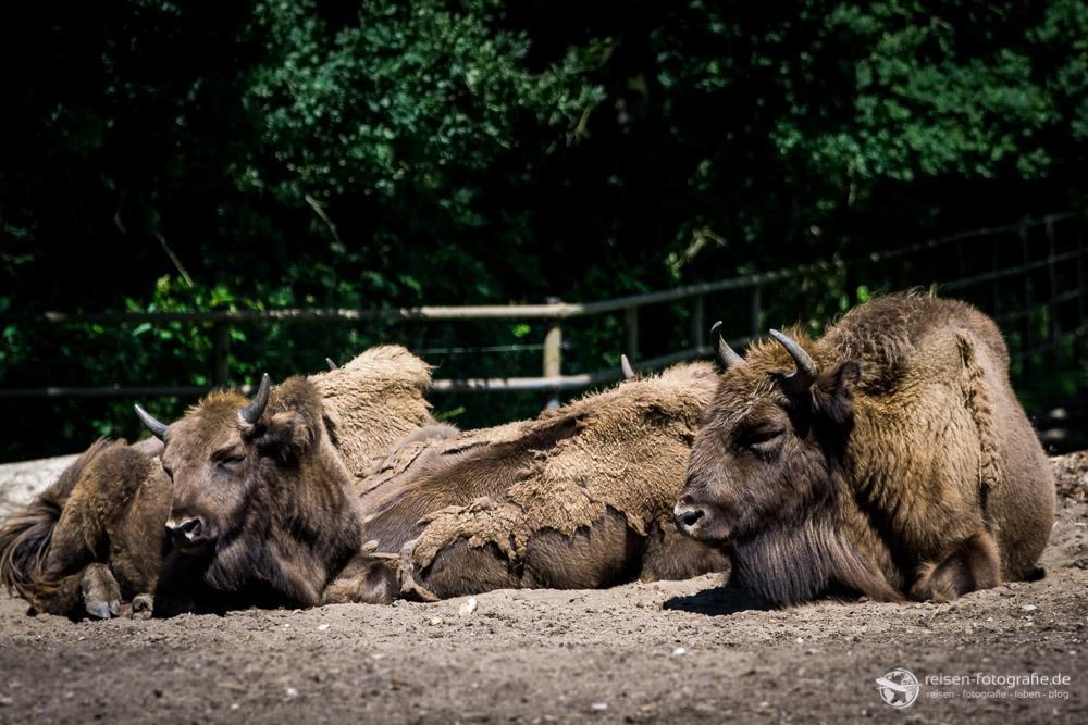 Bisons - ein Hauch von Wyoming