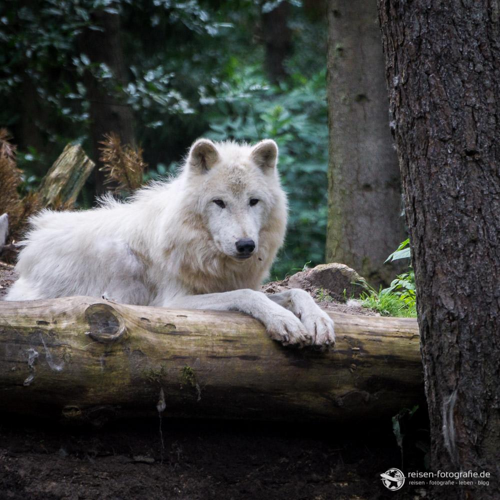 Mein Lieblingswolf im Wildpark
