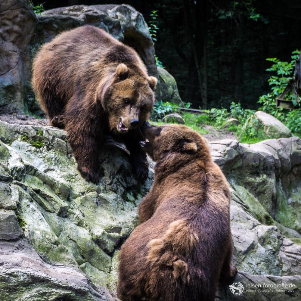 Aktion bei den Braunbären