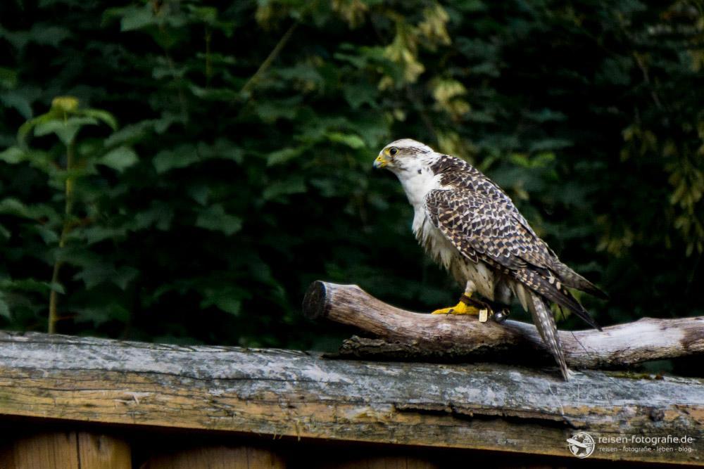 Ein Falke im sitzen ist kein Problem zum Fotografieren