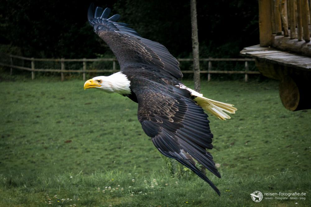Noch ein Vorbeiflug des Adlers