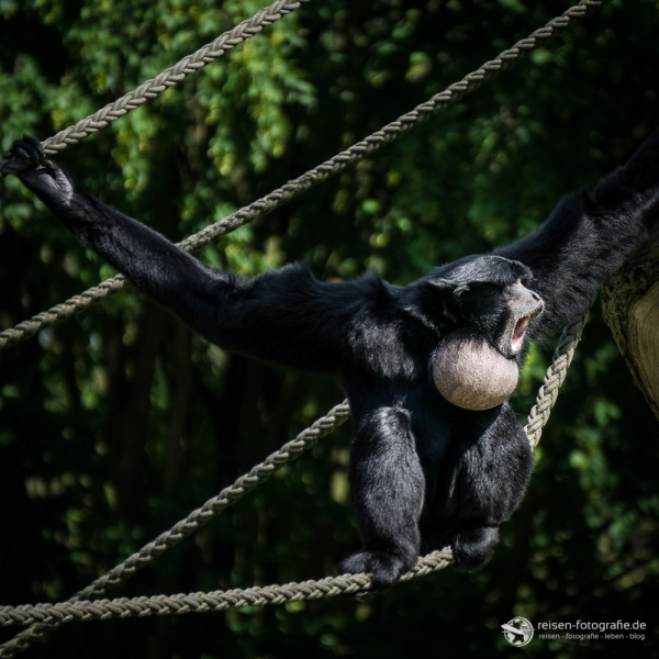 Siamang Affe beim Gesang