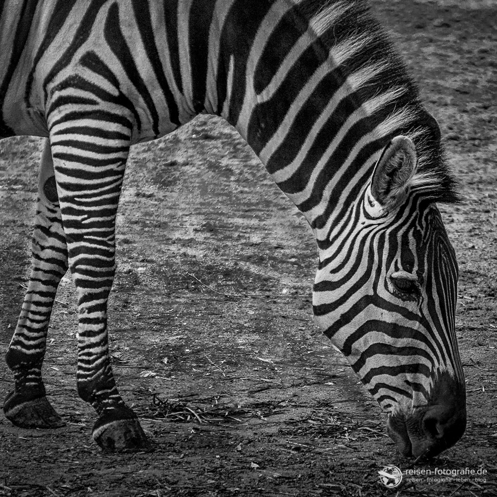 Zebra im Erlebnis Zoo Hannover