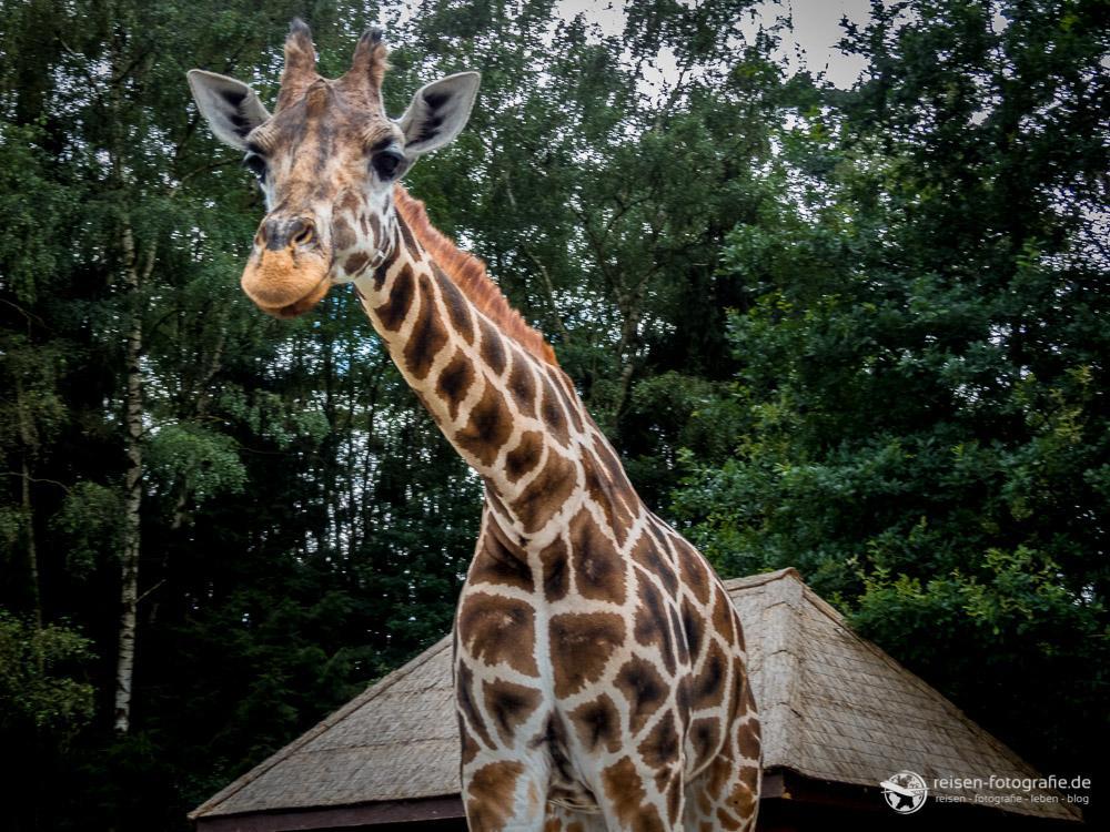 Giraffe im Anmarsch