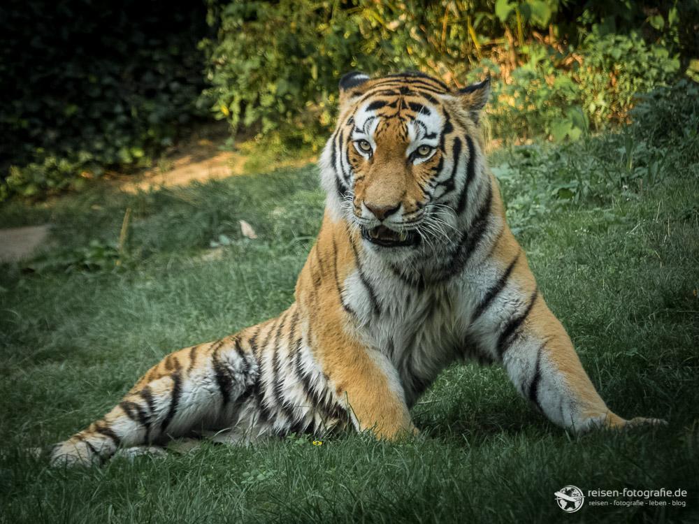 El-Roi - Papa von den Tigerbabys