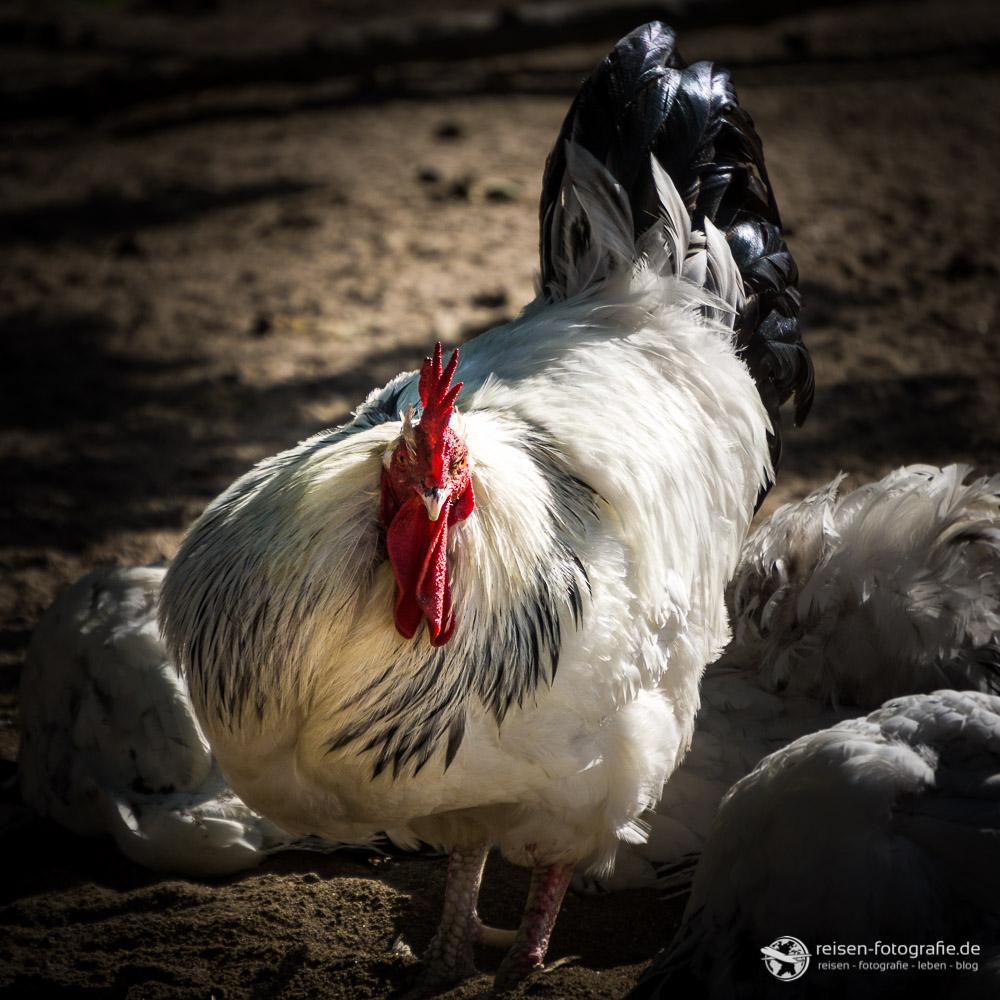 Der Gockel und seine Hühner