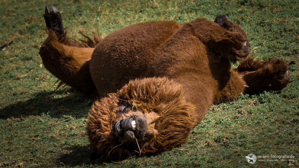 Alpaka beim rölschen auf der Wiese - haben wir auch noch nicht gesehen.