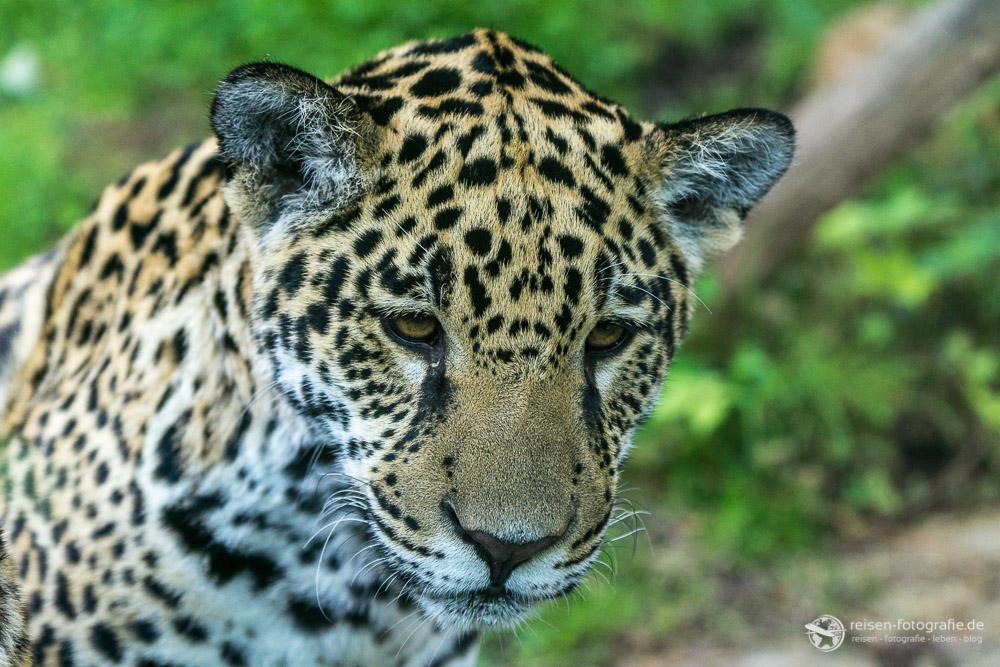 Jaguar Nachwuchs - Brennweite 88mm - f4 - 1/800 sec - ISO 400