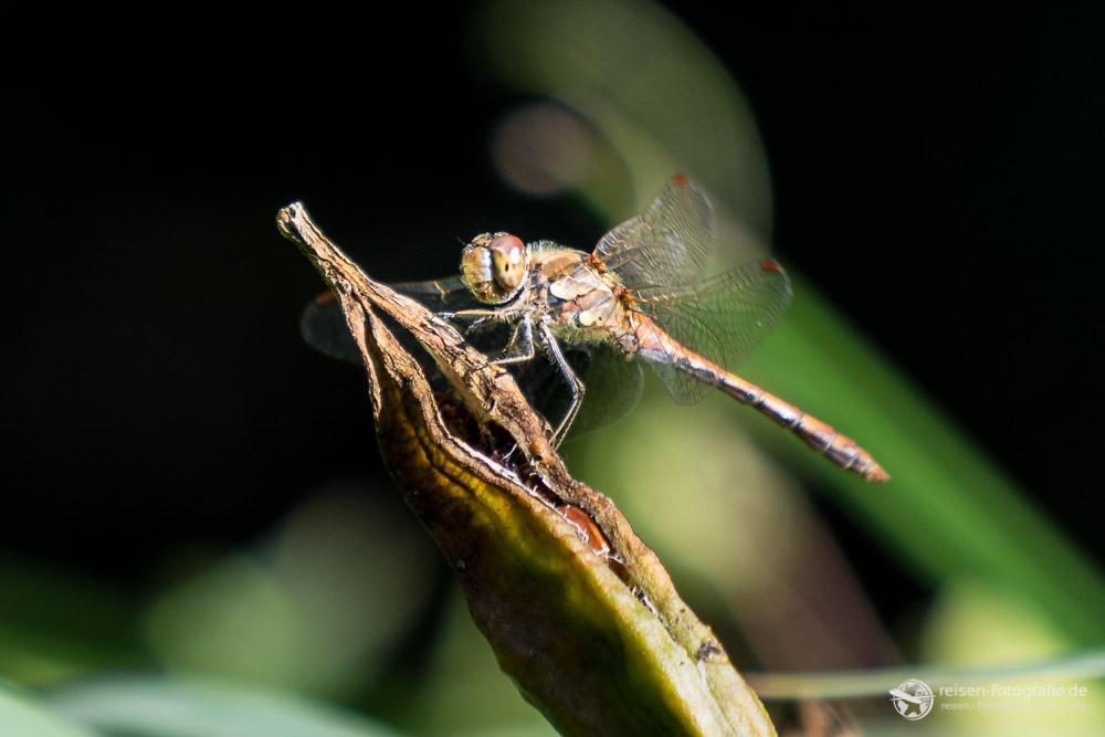 Libelle im Ausschnitt - Brennweite 200mm - f4 - 1/200 sec - ISO 100