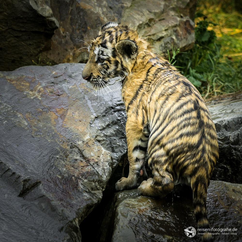 Begossener Tiger...