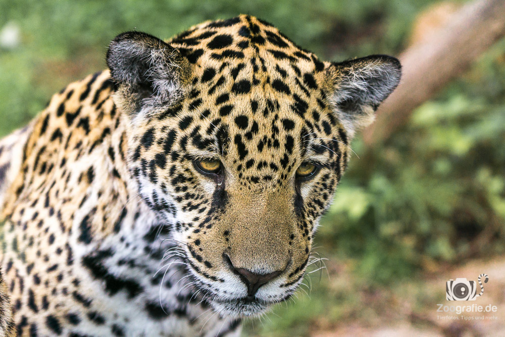Kleiner Jaguar - strenger Blick