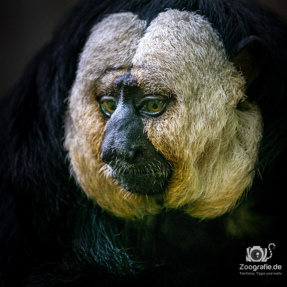 Weißgesicht-Saki Portrait