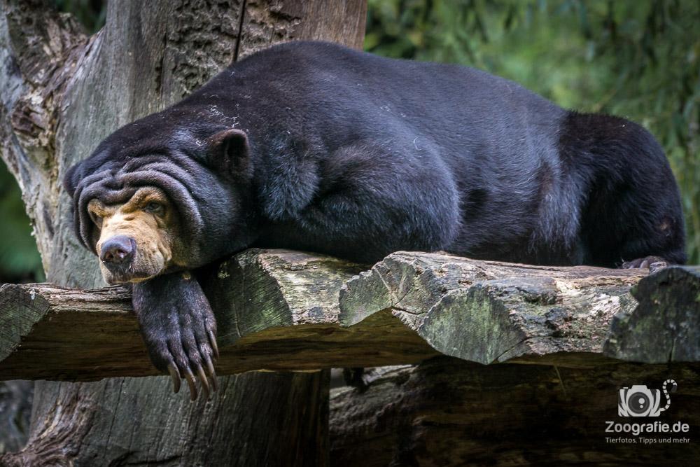 Malaienbär sehr relaxt
