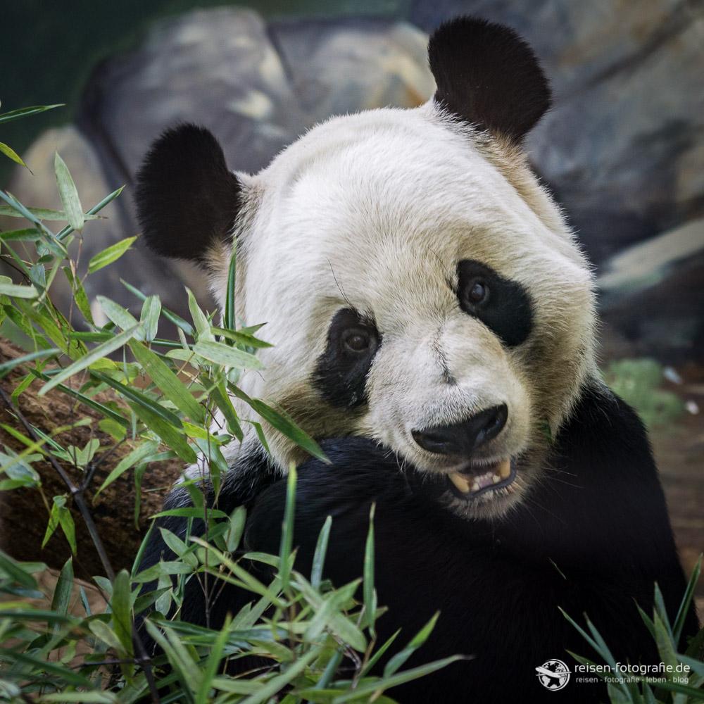 Panda Bär im Zoo Atlanta