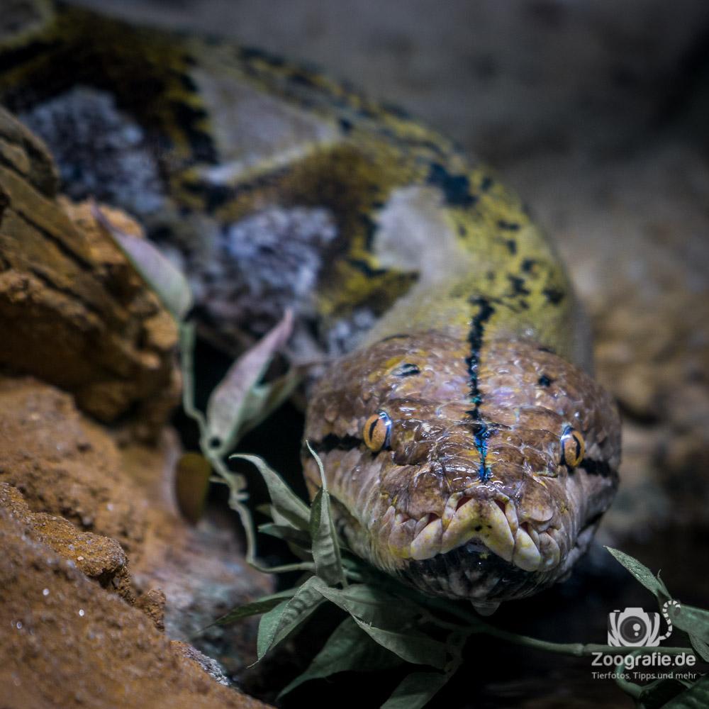 Schlangenportrait