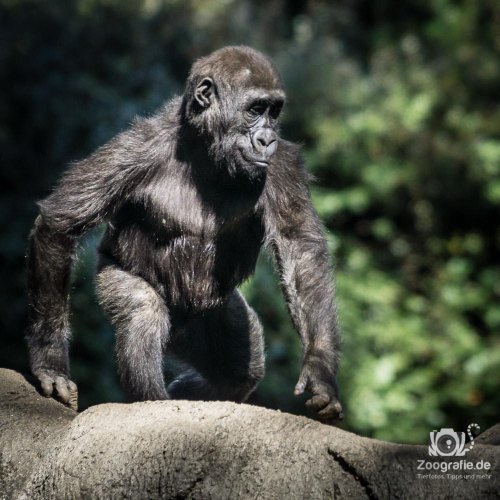 Ich werde mal ein stolzer Gorilla