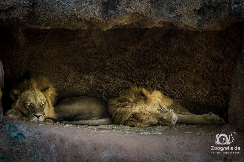 Eine Höhle voller Löwen
