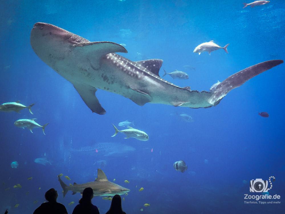 Walhai im Vergleich zu Menschen