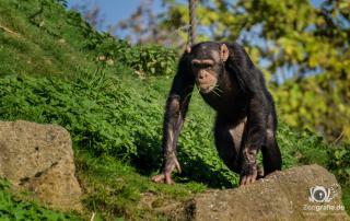 Schimpanse im Zoom Gelsenkirchen