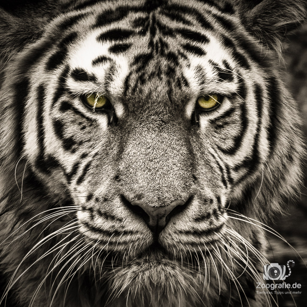 Fotografie für Anfänger: Tiger Mittig fotografier - hier passt das.