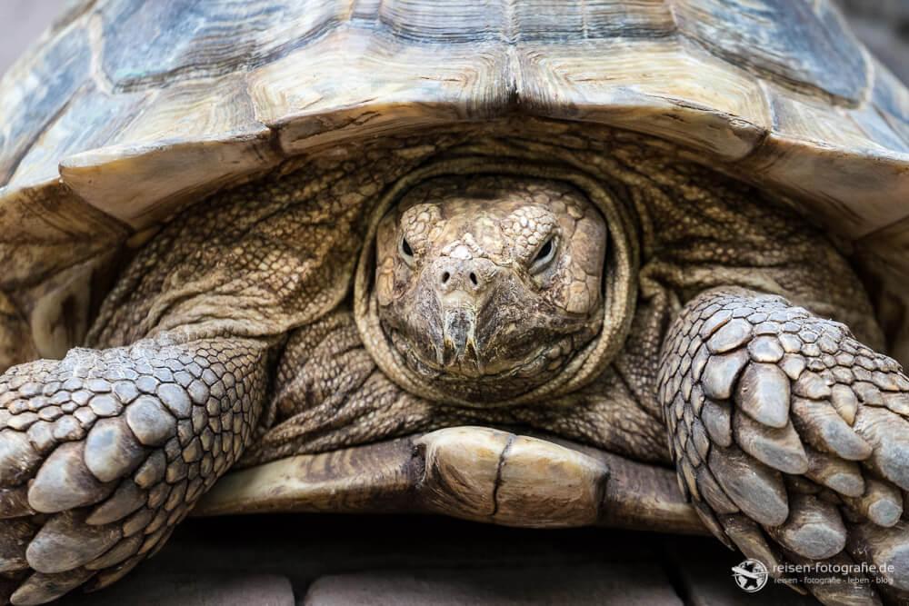 Schildkröten Portrait