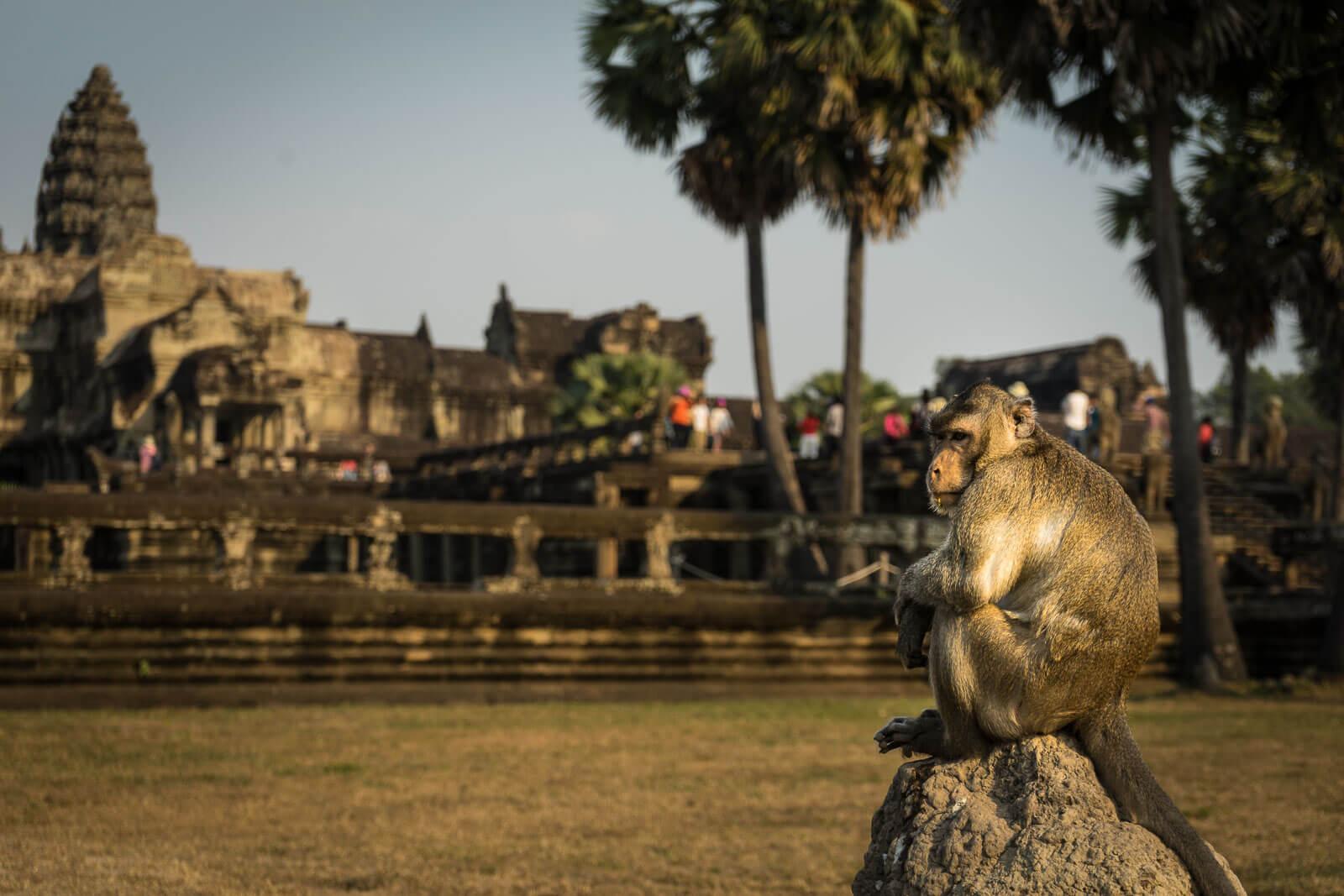 Affe am Ankor Wat
