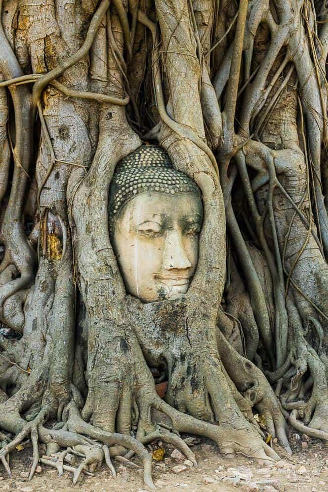 Wat Mahathat - Buddakopf im Baum