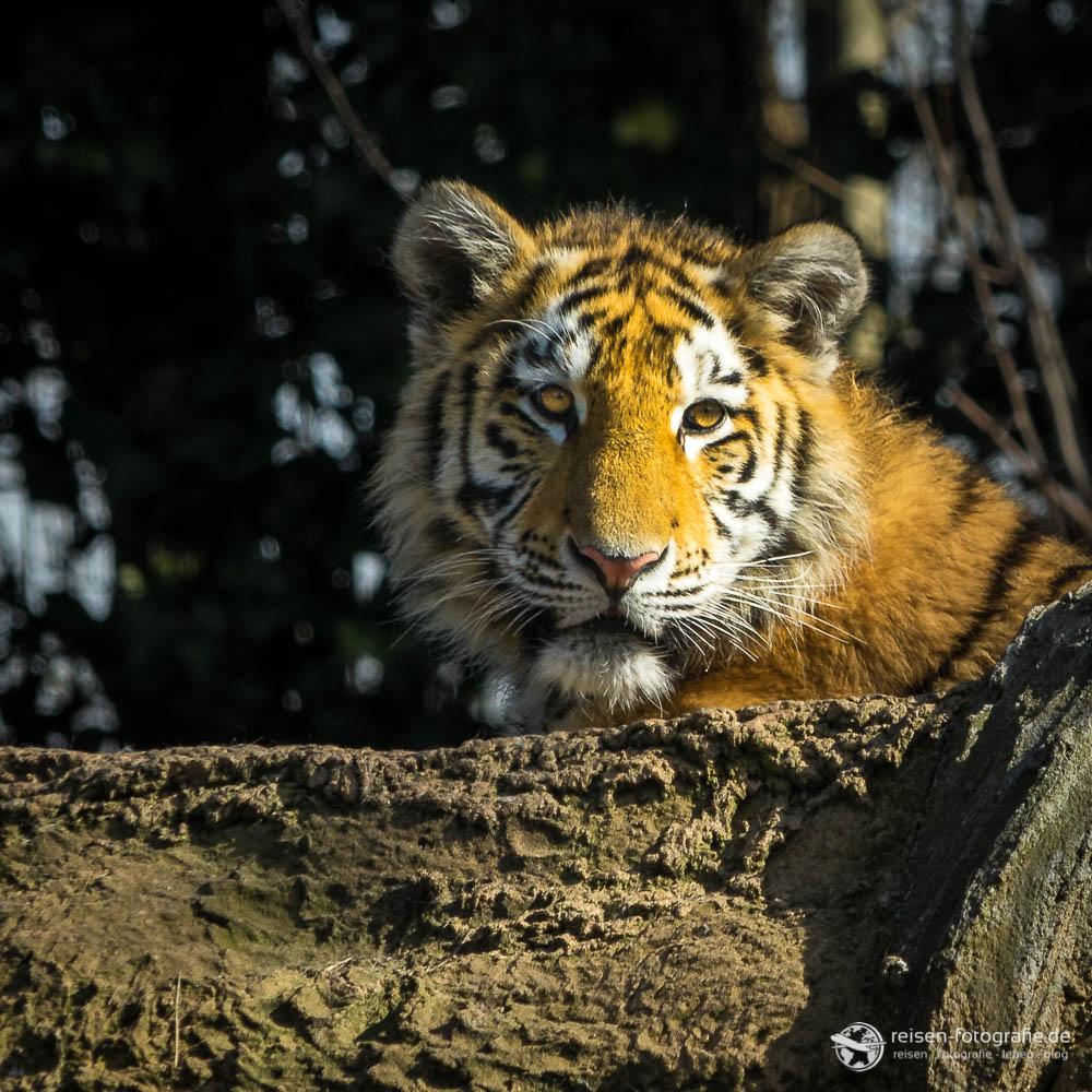 Zoo Duisburg - Tiger